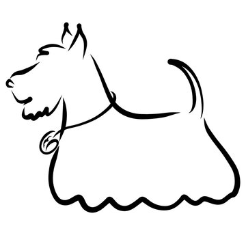 long haired scotch terrier with a medal on the neck