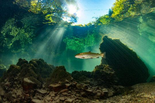 Single fish swimming in Traun river