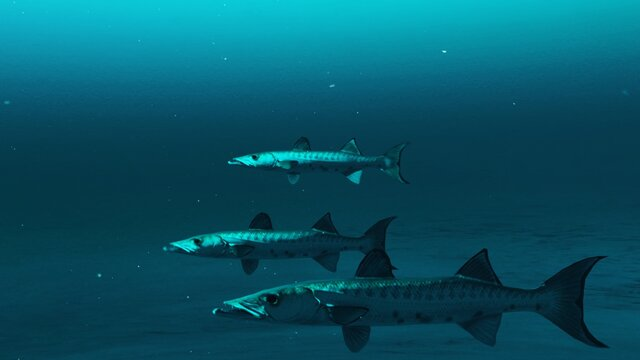 Closeup of Three Barracuda fishes swimming in the deep blue ocean water, underwater scene of barracuda fishes, Beauty of sea life , 4K High Quality.