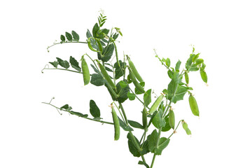 growing green peas isolated
