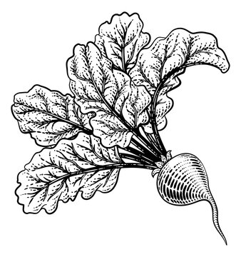 Beet or beetroot vegetable illustration in a vintage retro woodcut etching style.