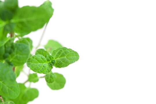 Fresh peppermint branch with leaves on the left side isolated white background and place for text macro