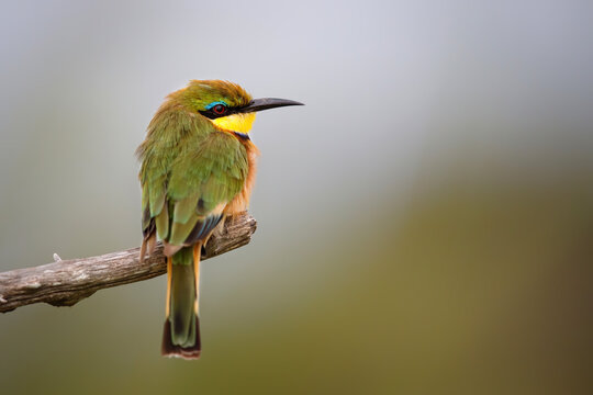 Little bee-eater (merops pusillus)  on a branch  in Kruger national park in South Africa