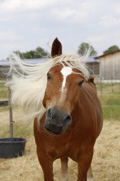 braunes Pferd mit langer blonder Mähne