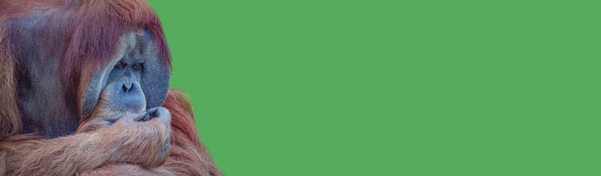 Banner with an elderly Asian orangutan, old powerful and big alpha male thinking at something, sad or depressed at green solid background with copy space.