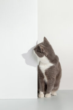Grey cat peeps out of the corner, animal emotions, on a white background, pet concept. Copy space.