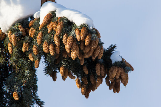 Abies concolor, the white fir in winter