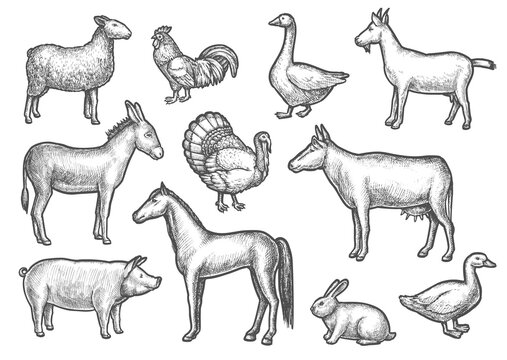 Set of isolated domestic bird and animal sketches. Hand drawn cattle and poultry. Sheep and donkey, horse and goose, mule or donk, duck and cock, cow and rabbit, goat and turkey. Rural farm, zoology