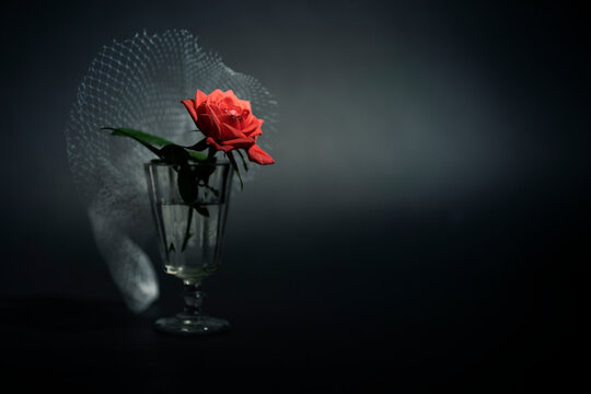 A red rose flower in a glass of water on a black background.