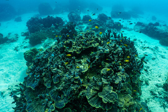 underwater scene with coral reef and fish; phi phi island; Thailand.
