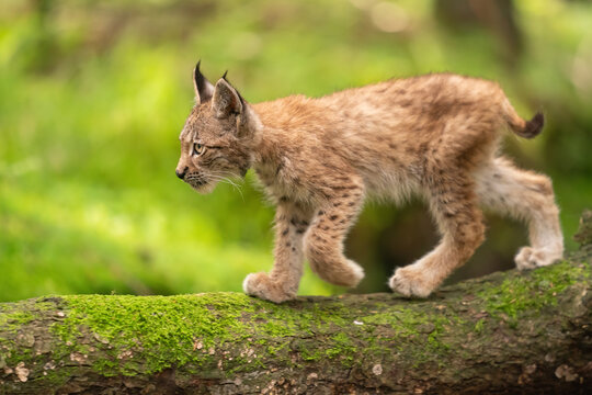 Lynx cub form a side walking on tree trunk from right to left side