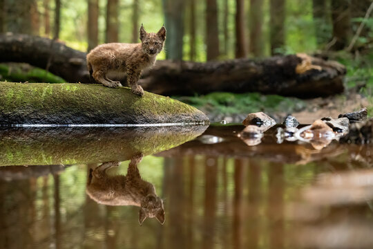 Lynx cub on the stone in the forest with reflection in the stream looking ahaed to the camera