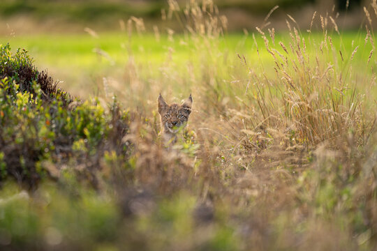 Lynx cub hidden in the high yellow grass. Head sticking out of the grass