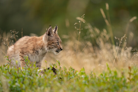 Wary lynx cub in the grass with yellow tall grass in the background.