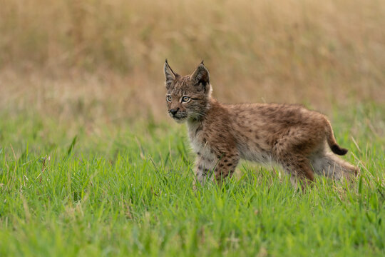 Small lynx cub standing on the green grass with yellow grass in a background