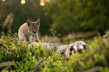 Small lynx cub carefully walking on a fallen tree trunk