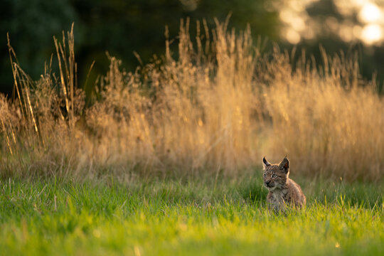 Lynx cub alert in the grass in the golden hour of the sunset