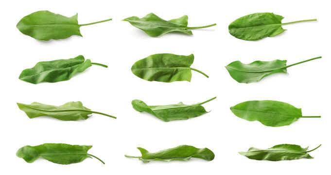 Set of fresh sorrel leaves on white background. Banner design