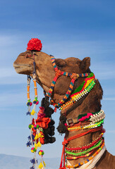 Beautiful amusing decorated Camel on Bikaner Camel Festival in Rajasthan, India