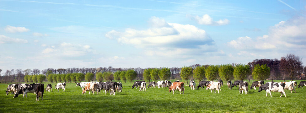 herd of holstein cows in dutch meadow in spring with willows in the background