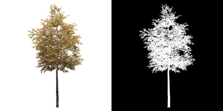 Front view of Silver Birch Tree. PNG with alpha channel to cutout. Made from 3D model for compositing.