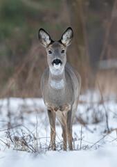 Roe deer ( Capreolus capreolus ) close up