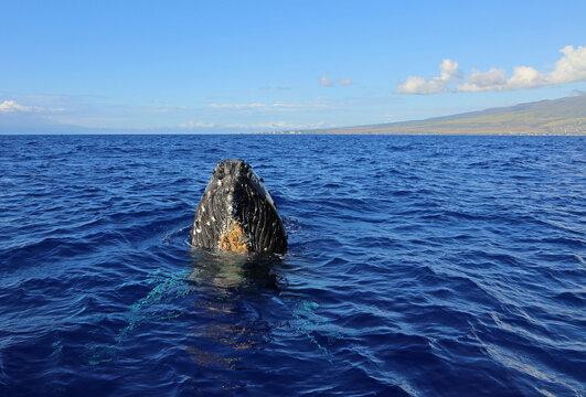 Maui and whales head - Humpback whale, Maui, Hawaii