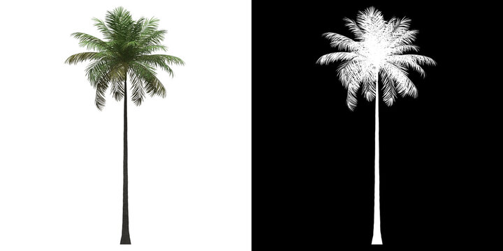 Left view of Bottle Palm Tree. PNG with alpha channel to cutout. Made from 3D model for compositing.