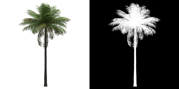 Front view of Bottle Palm Tree. PNG with alpha channel to cutout. Made from 3D model for compositing.