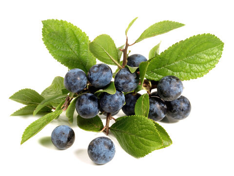 Potted Sloe Berries on white Background Isolated