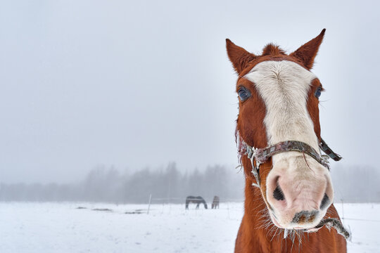 portrait of a funny brown horse with a white stripe on its muzzle, winter foggy day, place for text and advertising, mock up