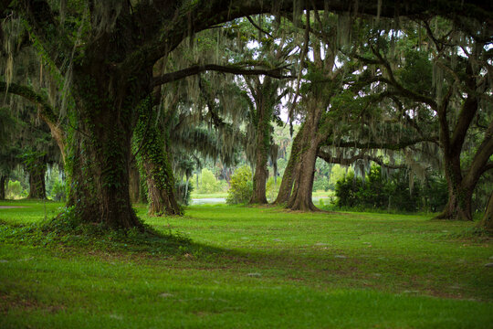 Oak trees and green covered woods in Florida after heavy rain.