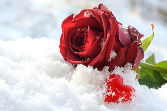Red heart from glass and a rose flower lying in the white snow, love symbol on valentines day, copy space