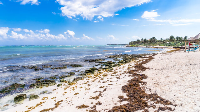 Seaweed contamination of coastal line at Akumal beach, Mexico