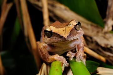 Wall Murals Frog Sri Lanka whipping frog // Sri Lanka Ruderfrosch (Polypedates cruciger) - Sri Lanka