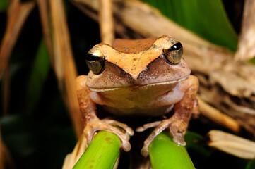 Wall Murals Frog Sri Lanka Ruderfrosch // Sri Lanka whipping frog (Polypedates cruciger) - Sri Lanka