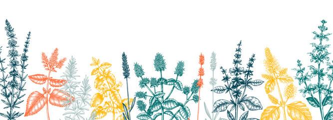 Fototapeta Mints in colors. Hand drawn medicinal herbs banner design. Vector mint plants sketches. Vintage summer herbs template.  obraz