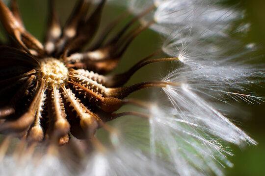 MAcro de Flor de Dandelion con las semillas y las plumas para volar