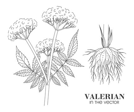 SKETCH OF A VALERIAN BRANCH ON A WHITE BACKGROUND