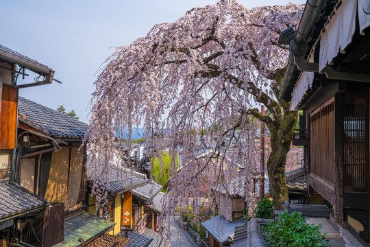 京都 三年坂の枝垂れ桜