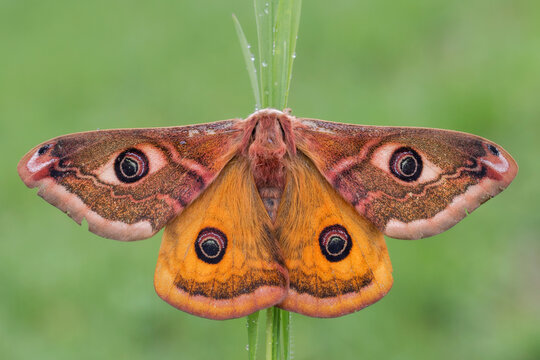 Saturnia pavoniella,  farfalla notturna