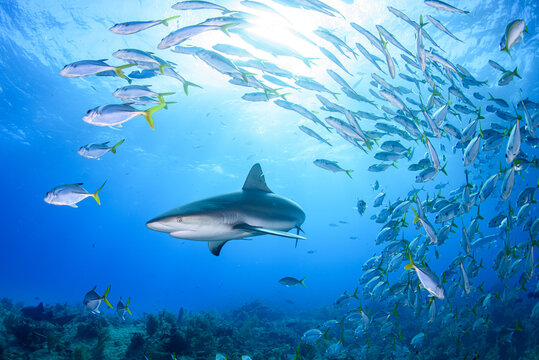 魚の群れに突っ込むサメ