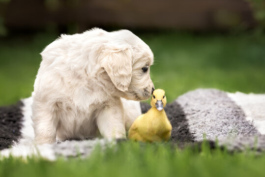golden retriever puppy sniffing a duckling outdoors in summer