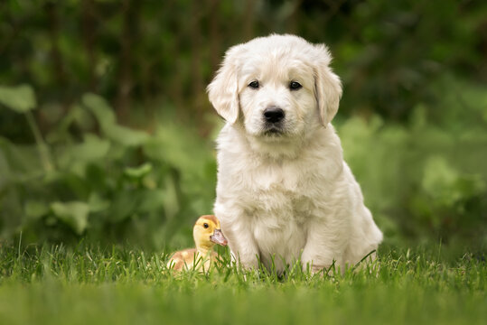 golden retriever puppy posing with a duckling on grass