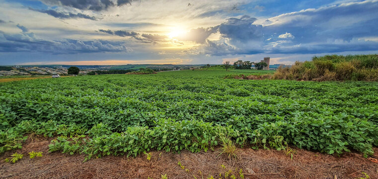 Farm soy plantation  at sunset skyline, city in the background. Space for text or design