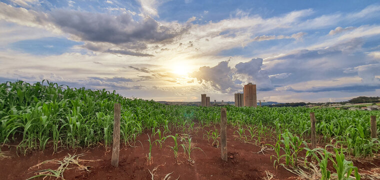 Farm corn plantation at sunset skyline, city in the background. Agro industry concept image.