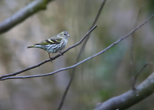 On a thin branch of a tree sits a female siskin