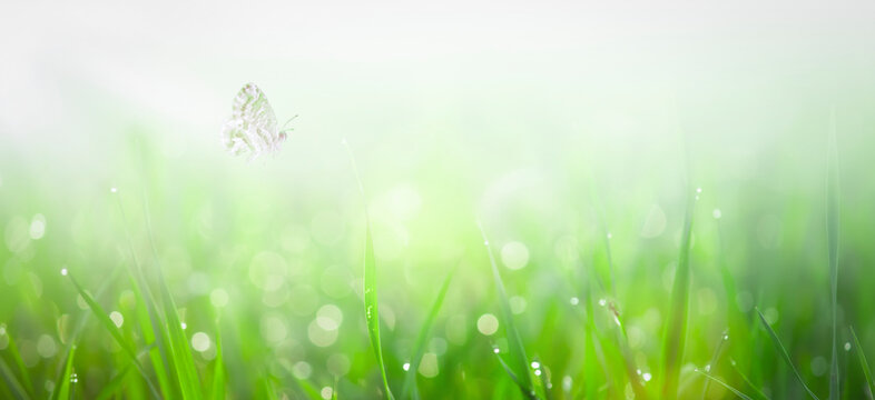 Green grass with dew and butterflies on sunrise meadow. Nature spring or summer fantasy background with copy space
