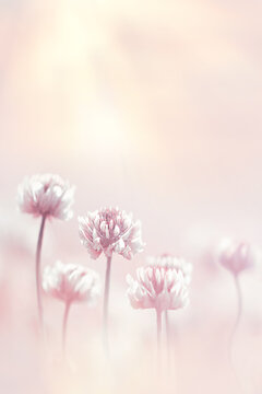 Clover flowers in pastel colored at sunlight background. Spring summer blur image. Copy space.