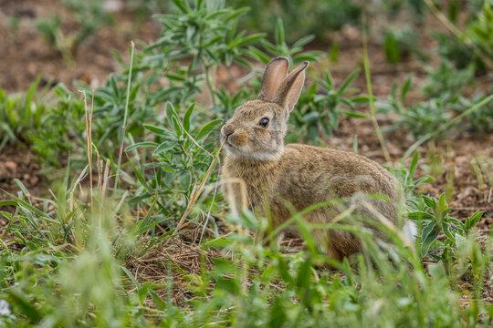 young wild bunny rabbit